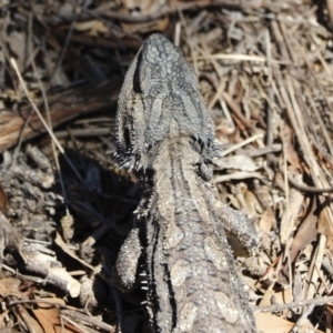 Pogona barbata at Michelago, NSW - 18 Oct 2019
