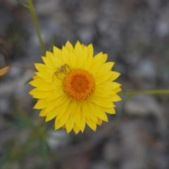 Xerochrysum viscosum (Sticky everlasting) at Red Hill Nature Reserve - 1 Nov 2019 by JackyF