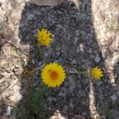 Xerochrysum viscosum at Red Hill Nature Reserve - 1 Nov 2019