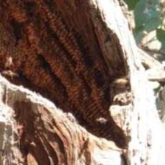 Apis mellifera (European honey bee) at Red Hill Nature Reserve - 1 Nov 2019 by JackyF