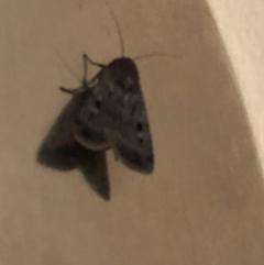 Agrotis infusa (Bogong Moth, Common Cutworm) at Aranda, ACT - 1 Nov 2019 by Jubeyjubes