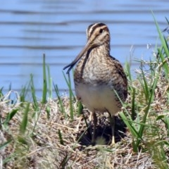 Gallinago hardwickii (Latham's Snipe) at Jerrabomberra Wetlands - 31 Oct 2019 by RodDeb