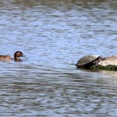 Chelodina longicollis at Jerrabomberra Wetlands - 31 Oct 2019