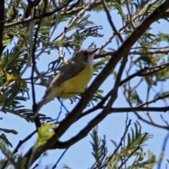 Gerygone olivacea (White-throated Gerygone) at Jerrabomberra Wetlands - 31 Oct 2019 by RodDeb