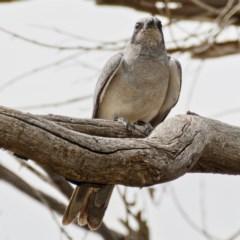 Coracina novaehollandiae (Black-faced Cuckooshrike) at Majura, ACT - 1 Nov 2019 by Marthijn