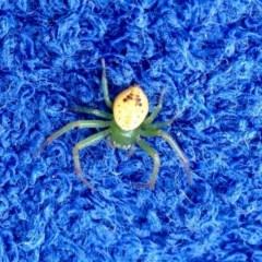 Lehtinelagia prasina (Leek-green flower spider, crab spider) at Aranda, ACT - 1 Nov 2019 by KMcCue