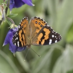 Vanessa kershawi (Australian Painted Lady) at Higgins, ACT - 2 Nov 2019 by AlisonMilton
