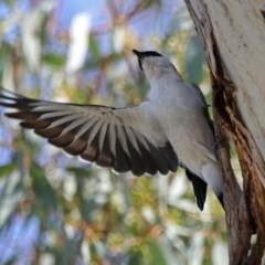 Lalage tricolor (White-winged Triller) at Namadgi National Park - 31 Oct 2019 by RodDeb