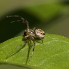 Australomisidia sp. (genus) (Crab spider) at Higgins, ACT - 30 Oct 2019 by AlisonMilton