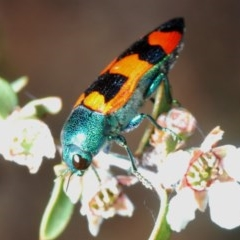 Castiarina crenata (Crenata jewel beetle) at Oallen, NSW - 2 Nov 2019 by Harrisi