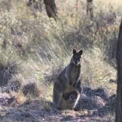 Wallabia bicolor (Swamp Wallaby) at Gundaroo, NSW - 4 Oct 2019 by Gunyijan