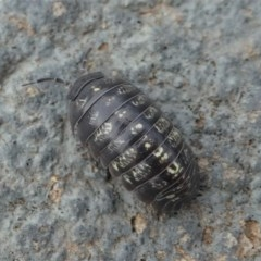 Armadillidium vulgare (Slater bug, woodlouse, pill bug, roley poley) at Kambah, ACT - 2 Nov 2019 by HarveyPerkins