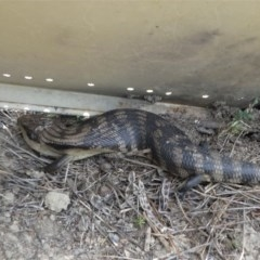 Tiliqua scincoides scincoides (Eastern Blue-tongue) at Paddys River, ACT - 2 Nov 2019 by HarveyPerkins