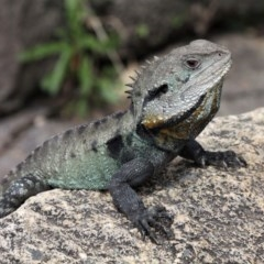 Intellagama lesueurii howittii (Gippsland Water Dragon) at Paddys River, ACT - 2 Nov 2019 by HarveyPerkins