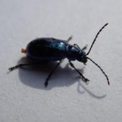 Altica sp. (genus) (Flea beetle) at Spence, ACT - 1 Nov 2019 by Laserchemisty