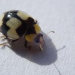 Illeis galbula (Fungus-eating Ladybird) at Spence, ACT - 2 Nov 2019 by Laserchemisty