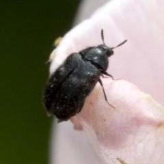 Dermestidae sp. (family) (Dermestid, carpet or hide beetles) at Spence, ACT - 2 Nov 2019 by JudithRoach