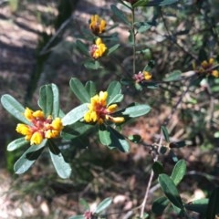 Pultenaea daphnoides (Large-leaf Bush-pea) at Rosedale, NSW - 23 Oct 2019 by annielane