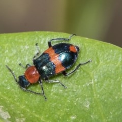 Dicranolaius bellulus (Red and Blue Pollen Beetle) at Higgins, ACT - 2 Nov 2019 by AlisonMilton