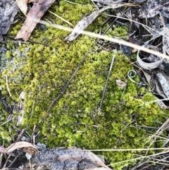 Didymodon torquatus (TBC) at Hughes Garran Woodland - 2 Nov 2019 by ruthkerruish