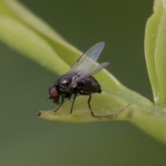 Diptera (order) (Unidentified fly) at Higgins, ACT - 2 Nov 2019 by AlisonMilton