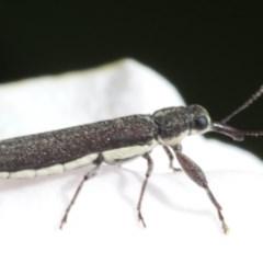 Rhinotia filiformis (A belid weevil) at Spence, ACT - 2 Nov 2019 by JudithRoach