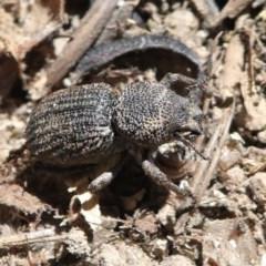 Cubicorhynchus sp. (genus) (Ground weevil) at Cooleman Ridge - 20 Oct 2019 by HarveyPerkins