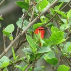 Myzomela sanguinolenta (Scarlet Honeyeater) at Clyde River Retreat - 2 Nov 2019 by ClydeRiver