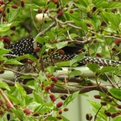 Eudynamys orientalis (Eastern Koel) at Aranda, ACT - 3 Nov 2019 by KMcCue