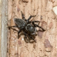 Hypoblemum griseum (A jumping spider) at Spence, ACT - 3 Nov 2019 by JudithRoach