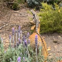 Amphibolurus muricatus (Jacky Lizard) at Wamboin, NSW - 8 Oct 2019 by hellopennyhere