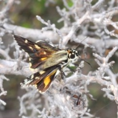 Unidentified Butterfly (TBC) at Morton National Park - 2 Nov 2019 by Harrisi