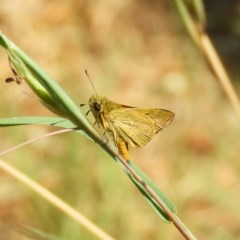 Ocybadistes walkeri (Greenish Grass-dart) at Kambah, ACT - 1 Nov 2019 by MatthewFrawley