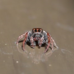 Opisthoncus sp. (genus) (Unidentified Opisthoncus jumping spider) at ANBG - 30 Oct 2019 by TimL