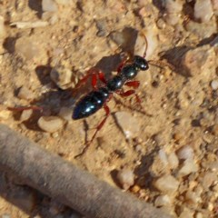 Diamma bicolor (Blue 'ant') at Brogo, NSW - 31 Oct 2019 by MaxCampbell
