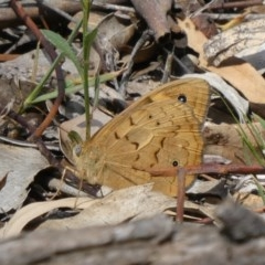 Heteronympha merope (Common Brown) at Tuggeranong Hill - 4 Nov 2019 by Owen
