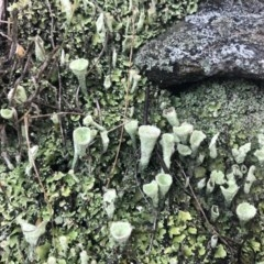 Cladonia sp. (A Lichen) at Wandiyali-Environa Conservation Area - 3 Nov 2019 by Wandiyali