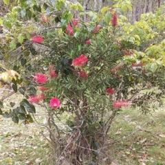Callistemon citrinus (Crimson Bottlebrush) at Meroo National Park - 4 Nov 2019 by GLemann