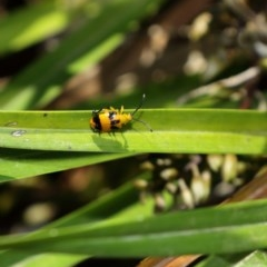 Stethopachys formosa (Dendrobium beetle) at Clyde River Retreat - 29 Oct 2019 by ClydeRiver