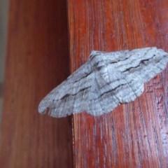 Syneora excursaria (Heath Bark Moth) at Rugosa at Yass River - 4 Nov 2019 by SenexRugosus