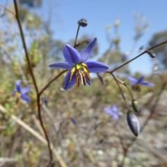 Stypandra glauca (Nodding Blue Lily) at Rugosa at Yass River - 30 Oct 2019 by SenexRugosus