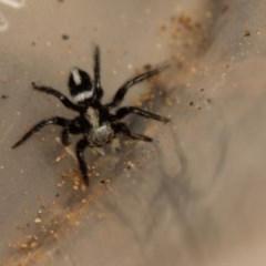 Salpesia sp. (genus) (Salpesia Jumping Spider) at Acton, ACT - 1 Nov 2019 by Venusaur