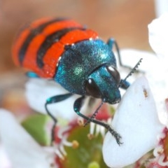 Castiarina crenata (Crenata jewel beetle) at Cotter Reserve - 4 Nov 2019 by Harrisi