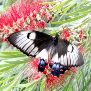 Papilio aegeus at Ainslie, ACT - 4 Nov 2019