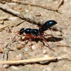 Diamma bicolor (Blue ant, Bluebottle ant) at Jerrabomberra Wetlands - 4 Nov 2019 by RodDeb
