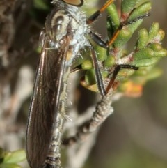 Cerdistus sp. (genus) (Robber fly) at Kambah, ACT - 4 Nov 2019 by Marthijn