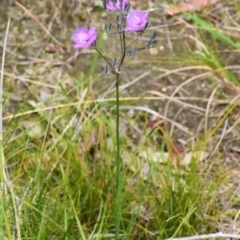 Thysanotus tuberosus subsp. tuberosus (Common Fringe Lily) at South Pacific Heathland Reserve - 4 Nov 2019 by NicholasdeJong