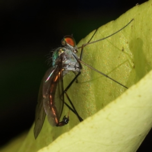Dolichopodidae sp. (family) at Kambah, ACT - 5 Nov 2019