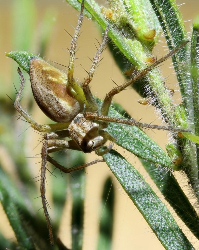 Oxyopes sp. (genus) at Kambah, ACT - 5 Nov 2019