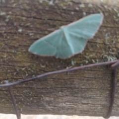 Chlorocoma (genus) (Emerald moth) at Lake George, NSW - 3 Nov 2019 by MPennay